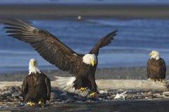 skallig örn för alaskabo Fotografering för Bildbyråer