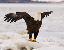 skallig örn för alaskabo Royaltyfria Bilder