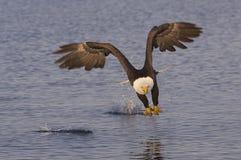skallig örn för alaskabo Arkivfoto