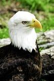 skallig örn för american Fotografering för Bildbyråer