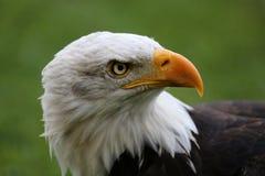 Skallig örn för American Royaltyfri Foto