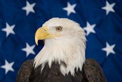 skallig örn för american Arkivfoton