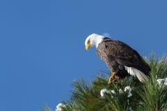 skallig örn för american Arkivbilder