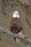 skallig örn för american Royaltyfria Foton