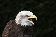 skallig örn för american Royaltyfri Bild