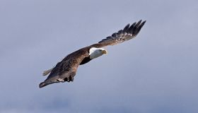 Skallig örn i flyg Royaltyfri Fotografi