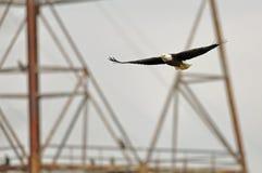 Skallig örn i flyg Arkivfoto