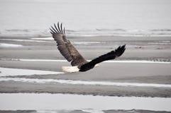 Skallig örn i flykten, Alaska Royaltyfria Foton