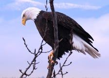 Skallig örn i Kootenai nationell djurlivfristad royaltyfri bild