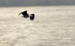 Skallig örn med fisken fotografering för bildbyråer