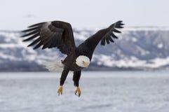 Skallig örn som att närma sig för att landa på is i fjärd i Homer, Alask royaltyfri foto