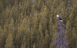 Skallig örn som sätta sig mot grön skog Royaltyfri Foto