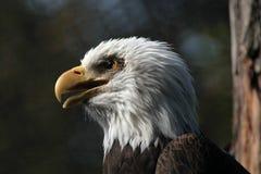 skallig örnhaliaeetusleucocephalus fotografering för bildbyråer