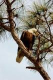 skallig örnhalialeetusleucocephalus Fotografering för Bildbyråer