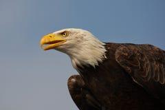 skallig örnstående för american Arkivfoton