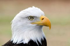 skallig örnstående för american royaltyfria foton