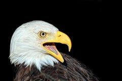skallig örnstående för american Royaltyfria Bilder