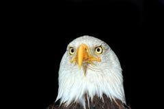 skallig örnstående för american Royaltyfri Bild