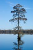 Skallig Cypress Tree Arkivbilder