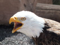 skallig eagle2 Royaltyfri Foto