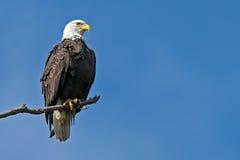skallig örn för american Royaltyfria Bilder
