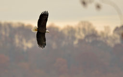 Skallig örn i flyg Royaltyfri Foto