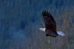 skallig soaring för örn Arkivfoton
