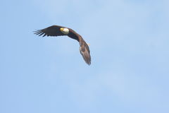 skallig soaring för örn Royaltyfria Foton