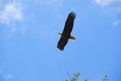 skallig soaring för örn arkivbilder