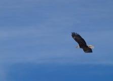 skallig soaring för örn Royaltyfri Bild