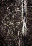 skallig tree Arkivfoton