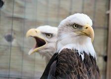 skalliga örnar Arkivfoto