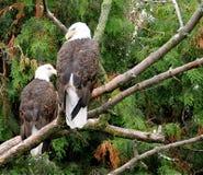 skalliga örnar för american Royaltyfri Fotografi