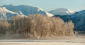 Skalliga örnar som placerar på snow, räknade filialer. Arkivfoton