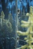 skalliga örnpar Royaltyfri Fotografi