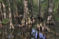 skalliga cypresstrees Fotografering för Bildbyråer