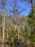 skalliga cypresstrees Royaltyfri Bild