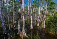 skalliga cypresstrees Arkivbild