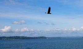 Skalliga Eagle över Puget Sound Arkivbild