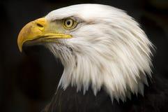 Skalliga Eagle Royaltyfri Bild