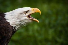 Skalliga Eagle Royaltyfri Fotografi