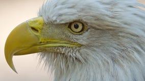 Skalliga Eagle royaltyfria foton