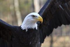 Skalliga Eagle Arkivfoton