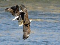 Skalliga Eagle Battle Arkivfoton