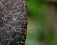 Skalliga Eagle Body Feathers med kopieringsutrymme Royaltyfri Foto