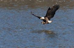 Skalliga Eagle Catching en fisk Royaltyfria Bilder
