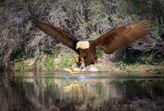 Skalliga Eagle Catching en fisk royaltyfria foton