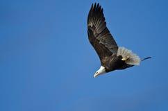 Skalliga Eagle Diving After Prey Arkivbilder