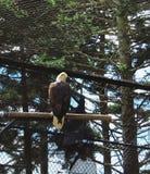 Skalliga Eagle Facing Proud Arkivfoton