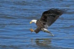 Skalliga Eagle Fish Grab Arkivfoton